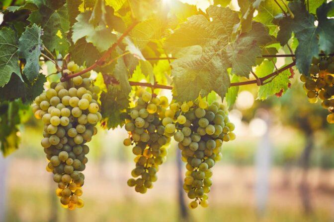 Alexander laible grapes