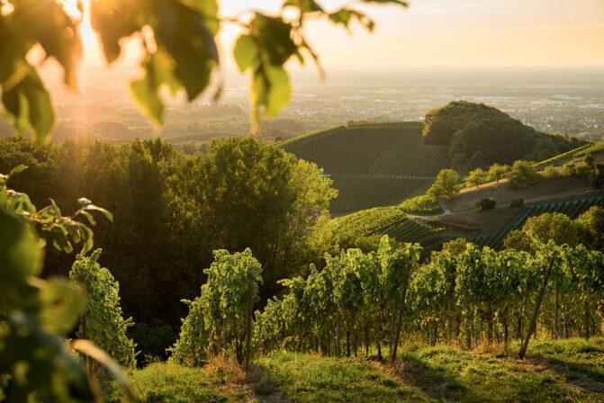 Alexander laible vineyards 1