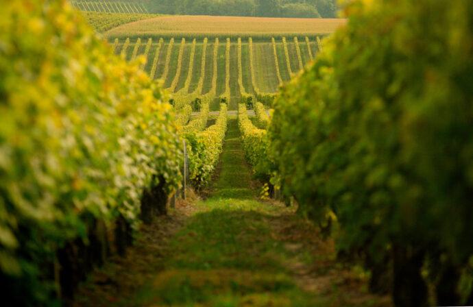 Beaulon vineyards