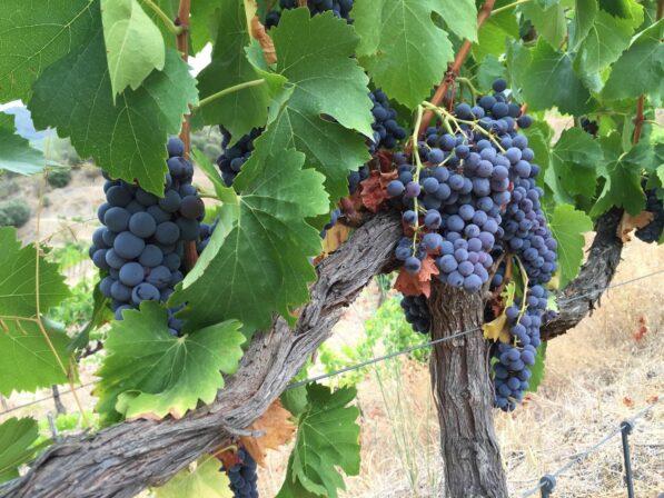 Belondrade nerin terra grapes