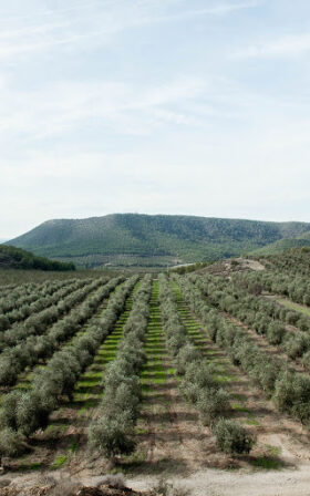 Belondrade olijfolie coq olive trees