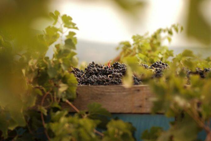 Cassagne et vitailles grapes