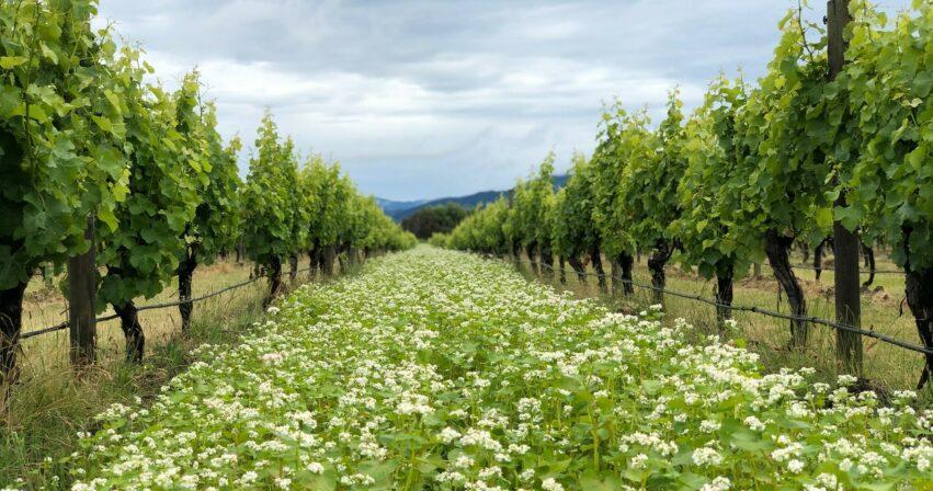 Dog point vineyard 2