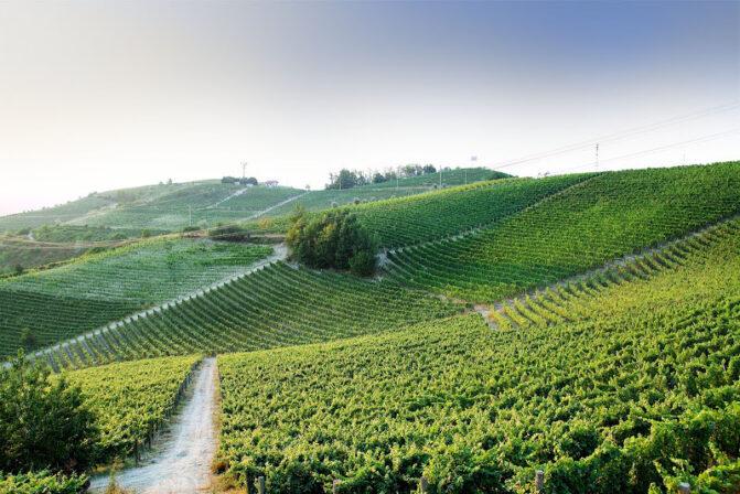 Manfredi vineyards
