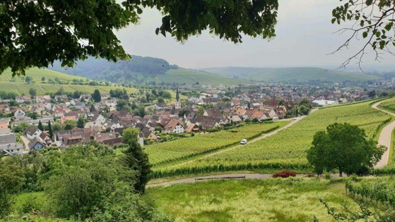 Schlossgut ebringen vineyards 2