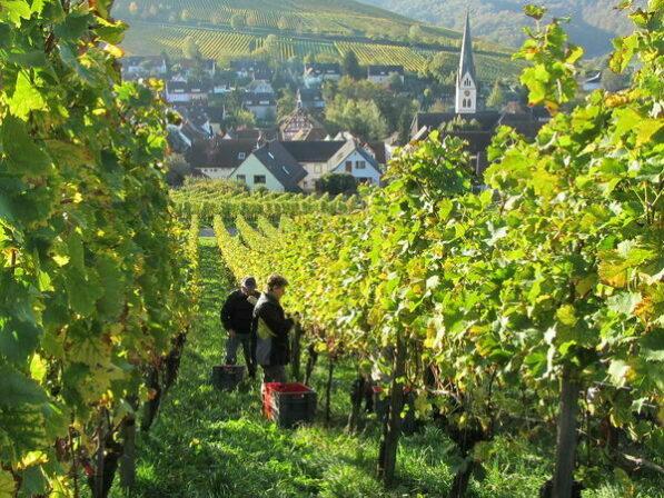 Schlossgut ebringen vineyards