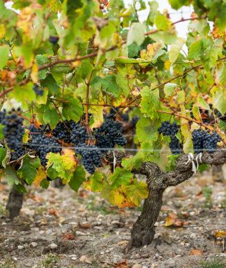Cap Leon Veyrin wijngaard