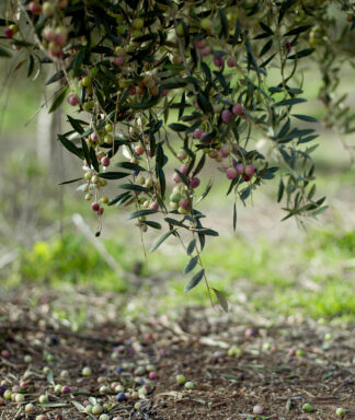 Belondrade olijfolie coq plant