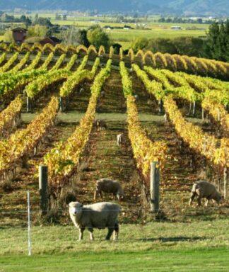 Dog point vineyard sheeps