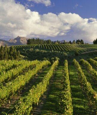 Dog point vineyard