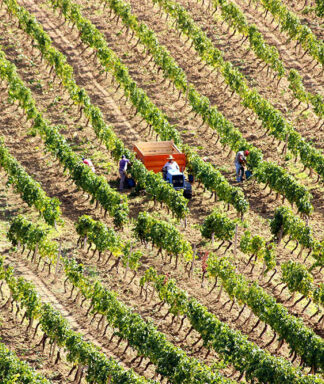 Farnese zabu vineyard harvest