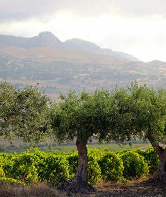Farnese zabu vineyard