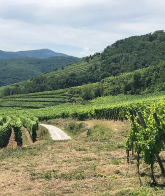 Hugel vineyard