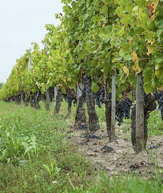La marzelle wijngaard