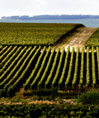 Ruinart vineyards