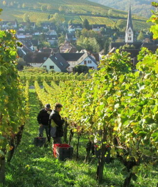 Schlossgut ebringen vineyards