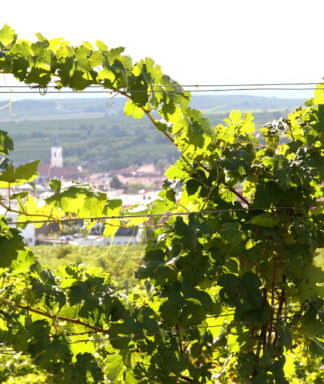 Thomas leithner vines